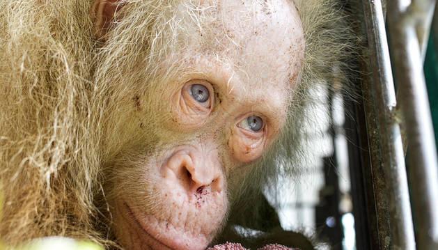 Rescatada en Indonesia una orangutana albina en cautivdad