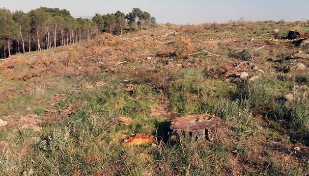 Una zona de pinos talados, a la derecha, con otra de pinos, a la izquierda.