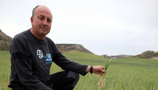 El agricultor Alberto Arrondo Lahera, en un trigal en el término de 'Pedregoso', en Fustiñana.