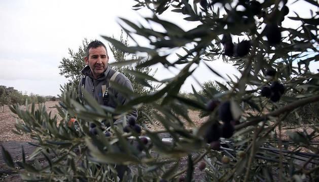 Antonio Melero Melero varea un olivo en un campo de Cascante con un vibrador automático.