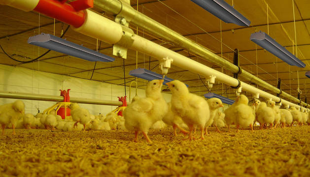 Ejemplo de una explotación avícola en la que han instalado el sistema de infrarrojos de la start-up Avir.