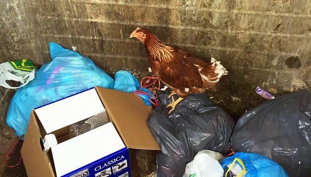 La gallina, en el fondo del contenedor.