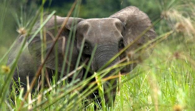 Un elefante africano.