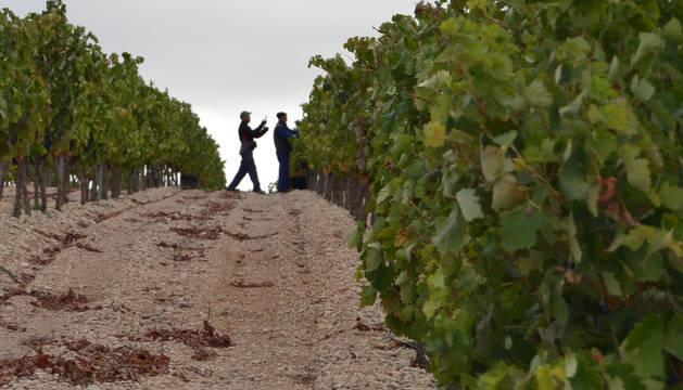 Dos trabajadores en una imagen de la pasada vendimia en el término de Roturas de Andosilla.