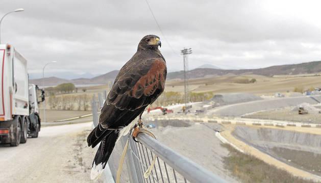Un águila, en el vertedero de Góngora.