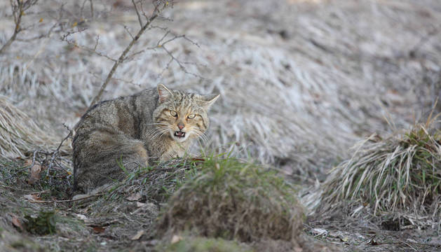 Imagen de un gato montés captada en Isaba, y motivo de interés turístico.