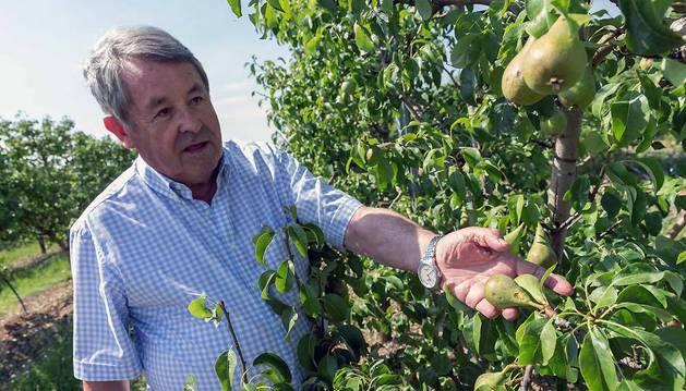 El agricultor tudelano Enrique Castel-Ruiz muestra unas peras dañadas en un campo de frutales que tiene en el término de Montes de Cierzo de la capital ribera.