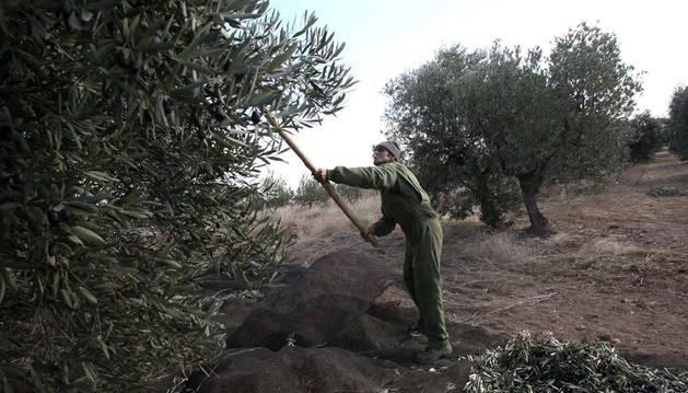 Imagen de archivo de la recogida manual de la oliva en un campo de Cintruénigo, una localidad donde  hay desavenencias con el comunal.