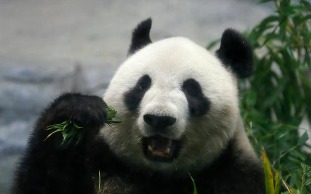 Imagen de Shin Shin, la oso panda gigante que ha dado a luz.