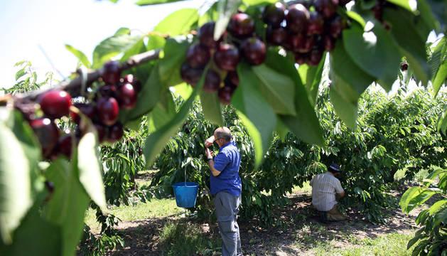 Dos personas recolectan cerezas en un campo de la zona El Ramillo de la localidad ribera de Milagro.
