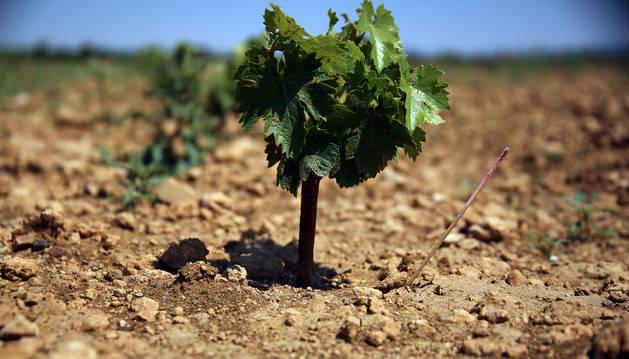 Una de las variedades desconocidas hasta ahora, en la finca El Baretón de Olite.