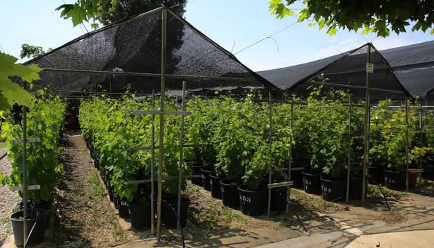 El vivero en Olite, en las instalaciones de lo que era Evena, donde se conservan las cepas de variedades singulares.