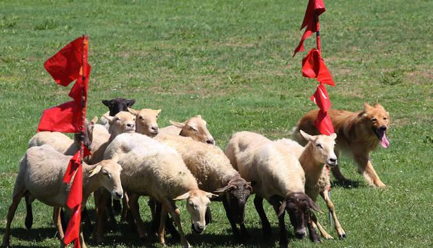 Uno de los border collie dirigió al rebaño al comando del pastor.