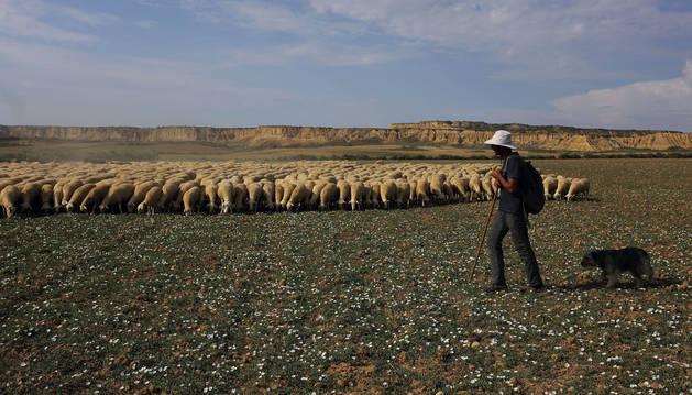 Foto del pastor Lorenzo Fuertes Garcés, de Burgui, camina sobre la planicie de las Bardenas, atento al avance lento del rebaño de ovejas y cabras.
