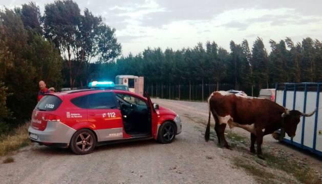Tres vacas bravas se fugan en Castejón, y dos continúan en paradero desconocido