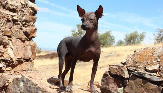 Perro sin pelo del Perú.