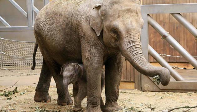 Imagen de una cría de elefante y su madre.