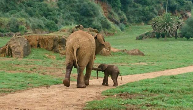 Fotografía facilitada por la Consejería de Turismo de Cantabria del elefante de sexo aún por determinar que nació ayer en el recinto del Parque de la Naturaleza de Cabárceno con un peso aproximado entre 90 y 100 kilos.