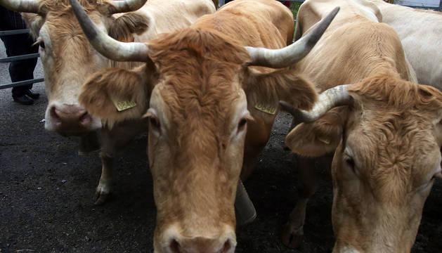 Varias vacas, en una feria.