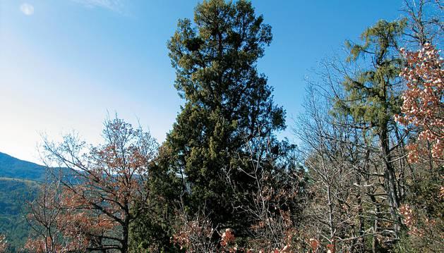 El enebro sobresale por encima de los árboles de su alrededor.