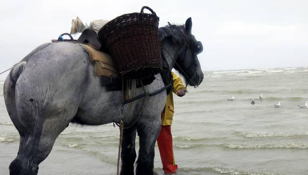 Bruno, el caballo de Dominique (pescador), de raza brabante, a punto de entrar en el agua para realizar la tradicional pesca de camarón del Mar del Norte.
