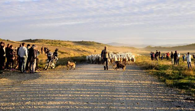 Entrada del ganado en las Bardenas