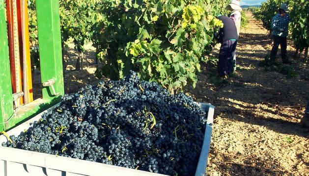 foto de En el ecuador de la vendimia, ya se han recogido más de 30 millones de kilos de uva.