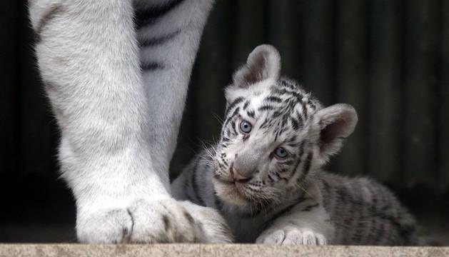 Un cachorro de tigre blanco