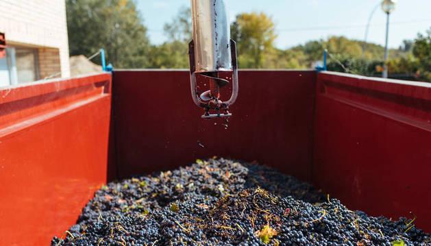 Imagen de racimos de uva recolectada durante la campaña que ahora finaliza.