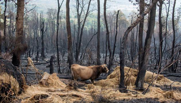 Una vaca sobre superficie calcinada en el incendio forestal cercano al pueblo gallego de Santirso (Maceda).