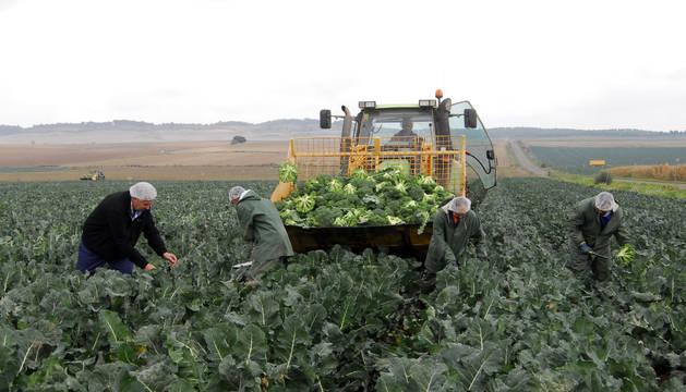 Un grupo de trabajadores recolecta brócoli en una parcela de Funes.