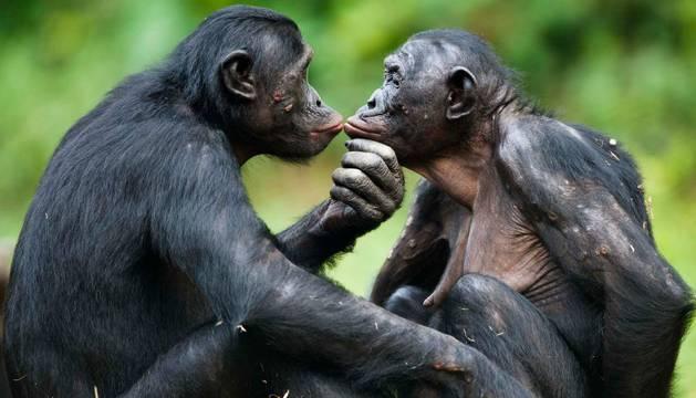 Una pareja de bonobos interactuando