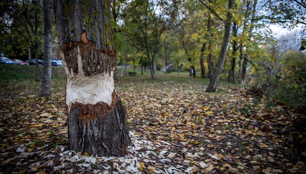 El Ayuntamiento quiere proteger los árboles de mayor porte, como el de esta la imagen tomada este lunes.