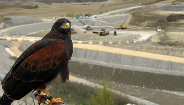 Un águila de Harris vigila en el centro de tratamiento de residuos de Góngora. Su presencia y los señuelos disuaden a especies como los estorninos, que acudían por miles.
