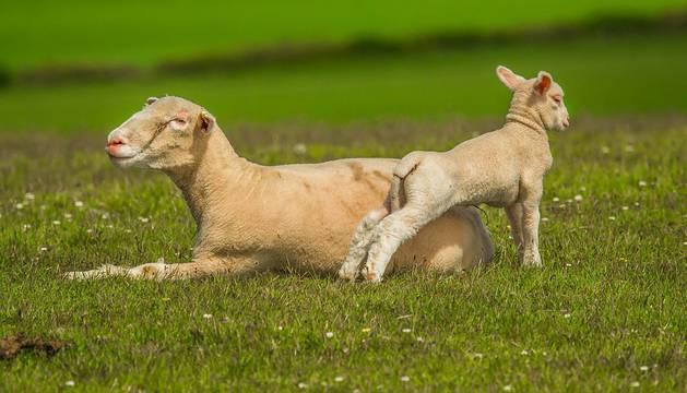 Un cordero con su madre