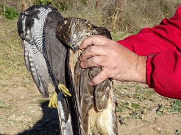 Imagen del azor adulto y la hembra joven de ratonero que se han encontrado muertos en Ribaforada.