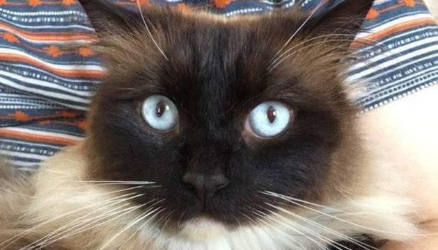 Este gato, Ykiyo, fue hallado muerto y se cree que es una de las víctimas del 'asesino de Croydon'.