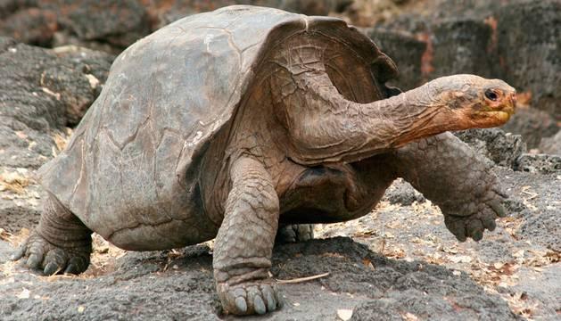 Una tortuga gigante propia de la isla de Galápagos