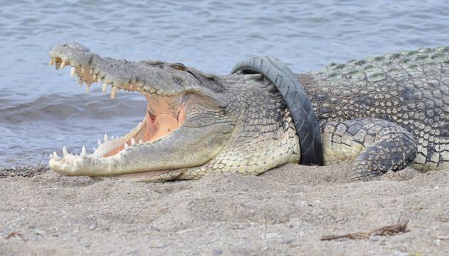 El cocodrilo podría morir asfixiado