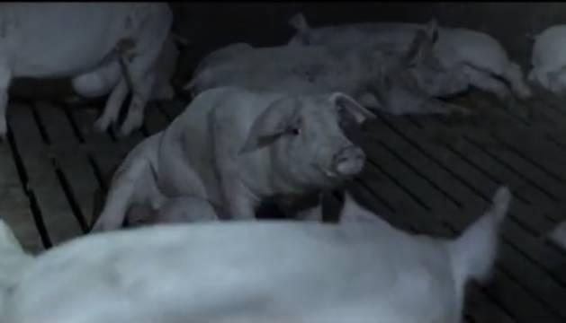 Estado en el que se encontraban los animales de la granja en la que se coló Jordi Évole.