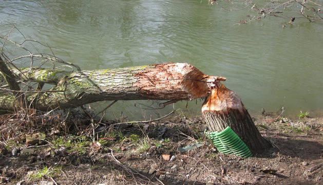 Uno de los árboles afectados por los castores.