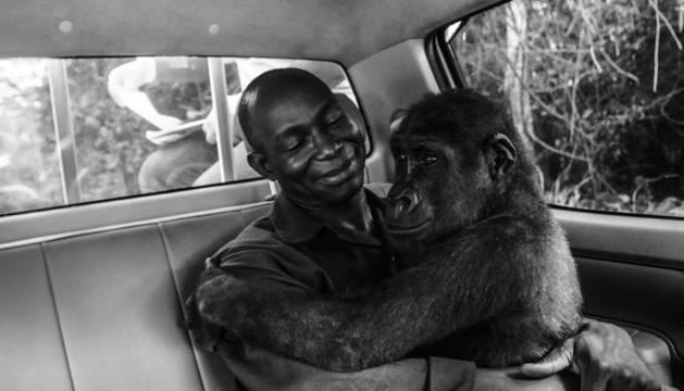 El rescate de un bebé gorila, mejor foto del año del Wildlife Photographer of the Year