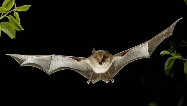 Numerosos murciélagos procedentes del norte Europa cruzan collados del Baztan