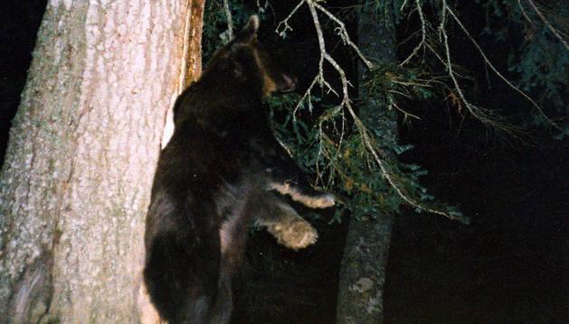 El oso 'Camille', que vivió durante doce años en el valle de Roncal, se rasca la espalda en un abeto.