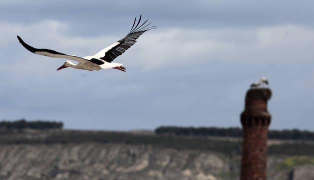 Un ejemplar de cigueña blanca, especie protegida, sobrevolando los cielos navarros