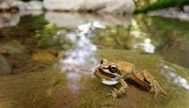 Un ejemplar de rana pirenaica localizado en un torrente de la demarcación francesa de Pirineos Atlánticos.