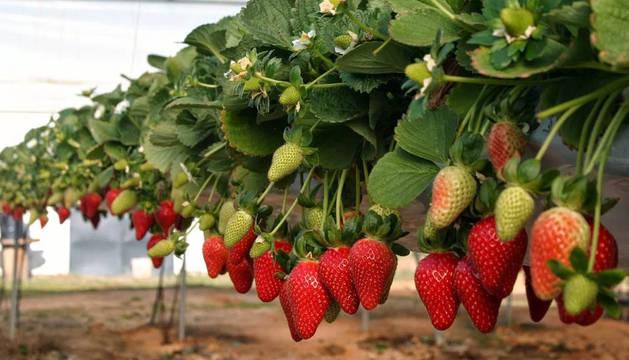 Un cultivo de fresas en Huelva.