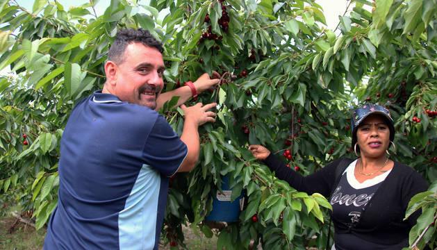 Una pareja de recolectores abren las ramas de los cerezos en busca de los frutos.