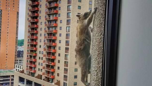 El mapache, escalando el edificio.