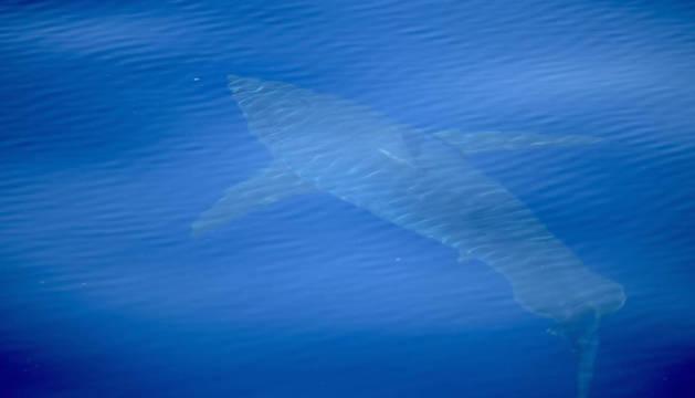 Imagen del tiburón blanco en aguas de Cabrera.
